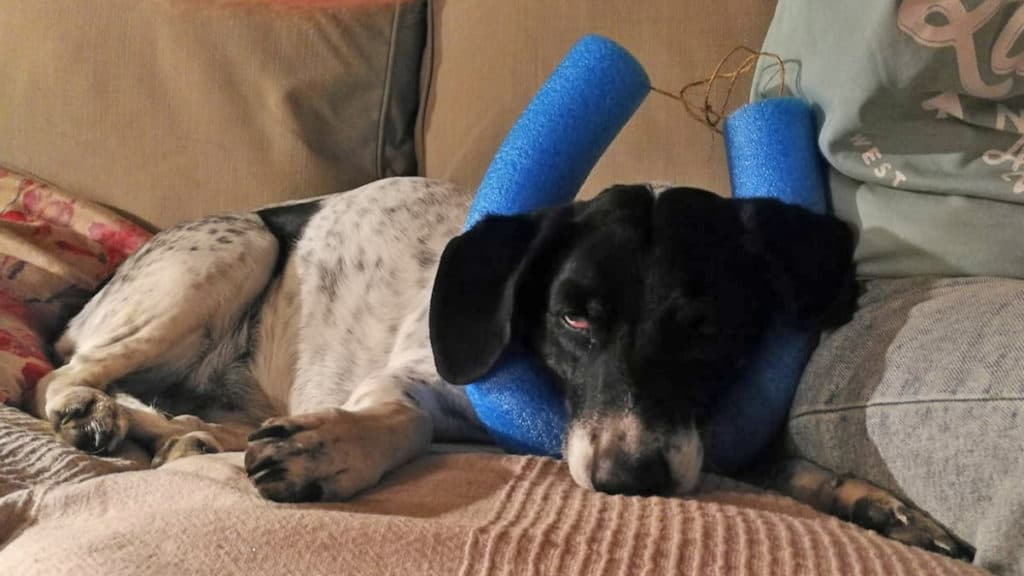 pool noodle dog collar